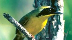 Common Yellowthroat by Brian Jerome of the Visual Learning Company